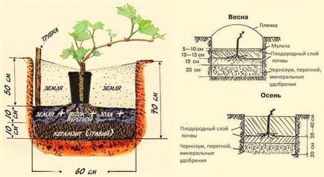 Схема размещения саженца винограда в лунке при осенней и весенней посадке