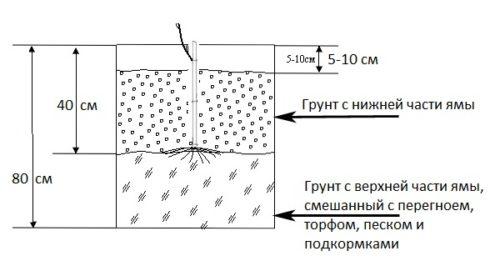 Схема размещения саженца винограда в стандартной посадочной яме