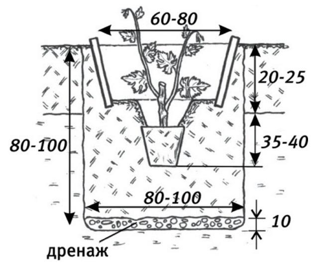 Схема правильного размещения саженца винограда в посадочной яме