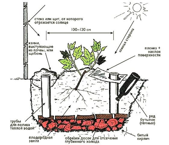 Схема посадочной ямы и размещение саженца винограда вдоль стены здания