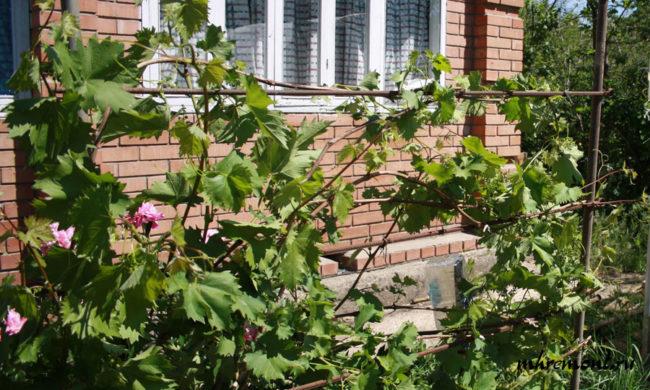 Куст столового винограда на шпалере вдоль кирпичной стены дома