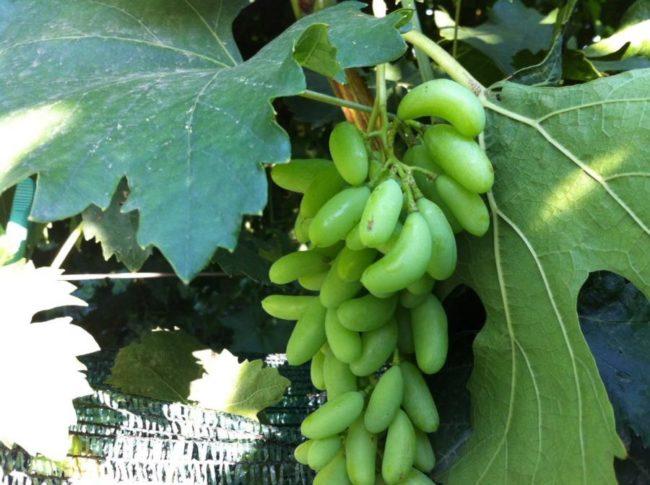 Сигнальная кисть и крупные листья на кусте винограда Князь Трубецкой второго года жизни