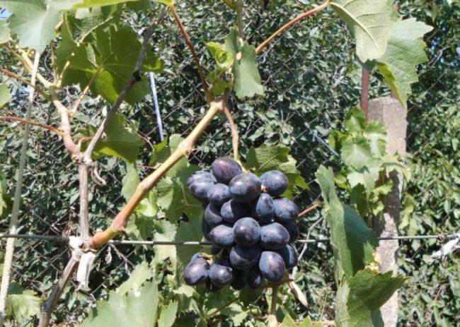 Виноградные ветки на шпалере и первая сигнальная кисть с ягодами темно-синего цвета