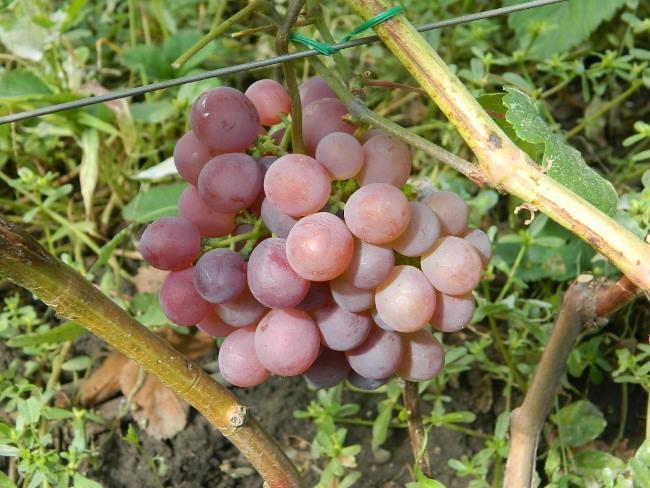 Первая сигнальная кисть гибридного винограда сорта Русский Ранний