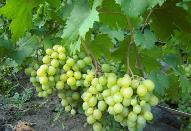 Первые кисти винограда на двухлетнем кусту гибридной формы Галбена Ноу