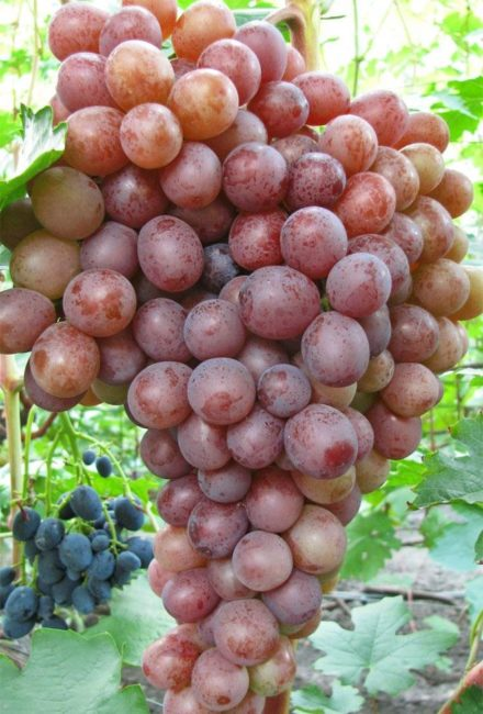 Гроздь винограда Сиреневый Туман с ягодами розово-сиреневого окраса