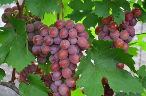 Красивая виноградная кисть с шаровидными ягодами розово-сиреневого цвета и темно-зеленые листья