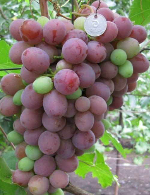 Крупная кисть красного винограда столового сорта с несколькими горошевидными плодами зеленого цвета
