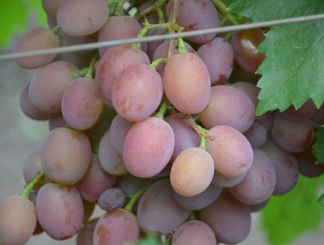 Плоды столового винограда сорта Сиреневый туман раннего срока созревания