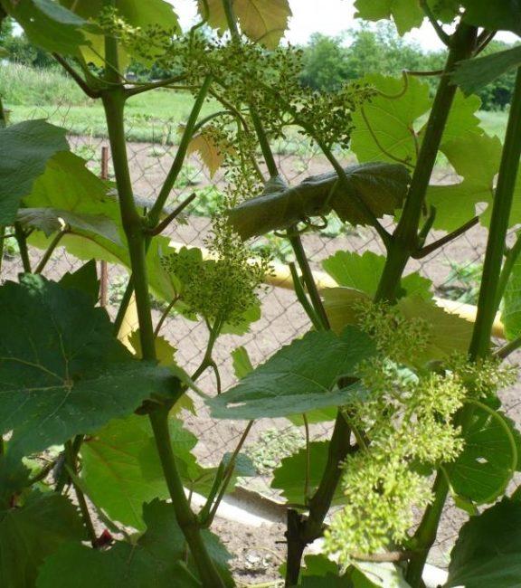 Метелки винограда с гермафродитными цветками на молодых зеленых ветках
