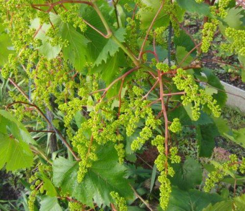 Соцветия винограда гибридного сорта Запорожский Кишмиш