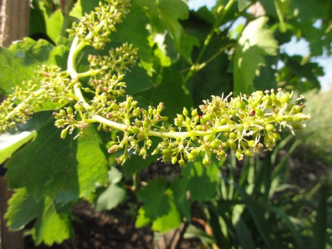 Универсальное соцветие винограда столового сорта Памяти Хирурга