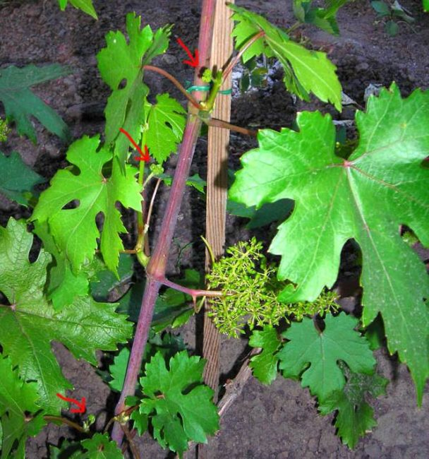 Ветка плодового винограда с зелеными листьями и соцветиями на пасынках