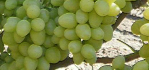 Плоды сорта винограда Настя вблизи на кисти