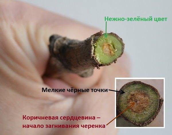 Перпендикулярный срез черенка винограда и признаки пригодности к укоренению