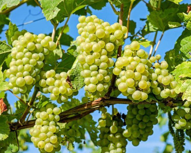 Грозди спелого винограда гибридного сорта Стременной технического предназначения