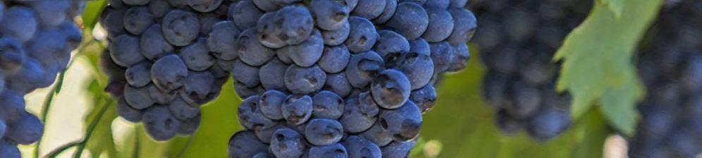 Крупная кисть спелого винограда сорта Таёжный