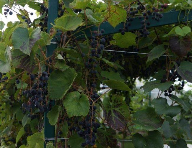 Виноград технического сорта на металлической перголе и кисти спелых ягод