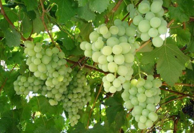 Грозди созревающего винограда столового сорта на арочной шпалере