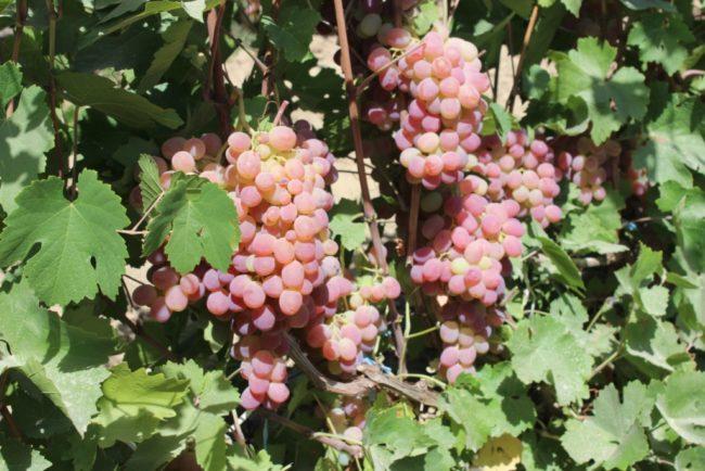 Куст виноградника с крупными розовыми гроздями