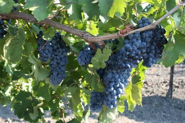 Большая ветка винограда с крупными синими гроздями в листве