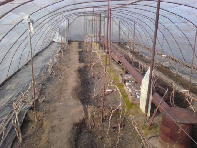 Виноградная лоза растёт в теплице в грунте