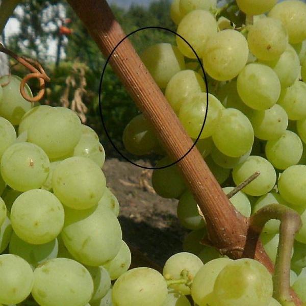 Одеревеневшая ветка винограда с мелкими черными точками и спелые плоды янтарного оттенка
