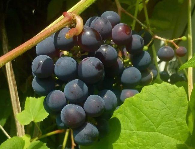 Гроздь винограда Зилга на лозе вблизи