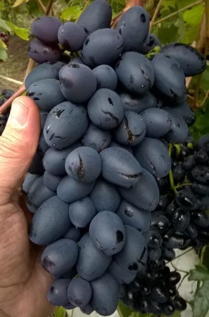 Гроздь гибридного винограда с синими плодами, треснувшими от избытка влаги