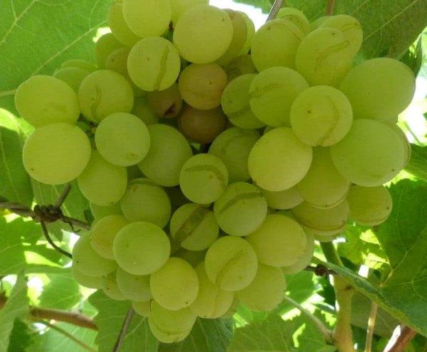 Кисть столового винограда на ветке с треснувшими плодами янтарного окраса
