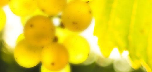 Спелые грозди винограда Триумф вблизи