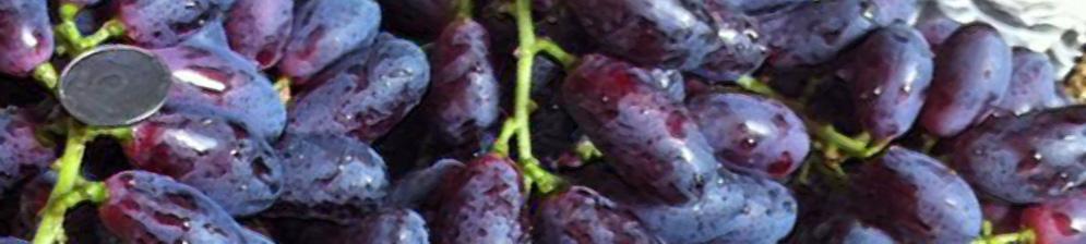 Спелые плоды вблизи сорта винограда Князь Трубецкой