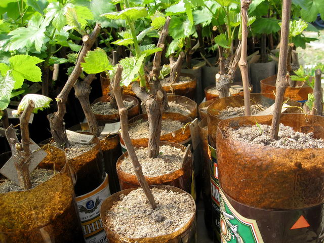 Укоренившиеся черенки винограда в обрезанных пластиковых бутылках