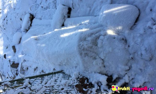 Укрытие винограда зимой под плёнкой сверху лежит снег