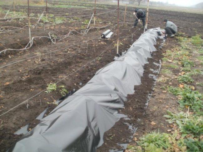 Виноград Велес укрытый на зиму пленкой