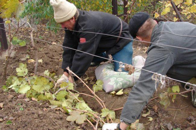 Прикапывание лозы винограда на зиму
