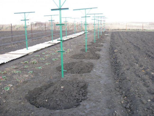 Насыпные холмики земли над молодыми саженцами винограда и укрытие лозы в короба под шифер