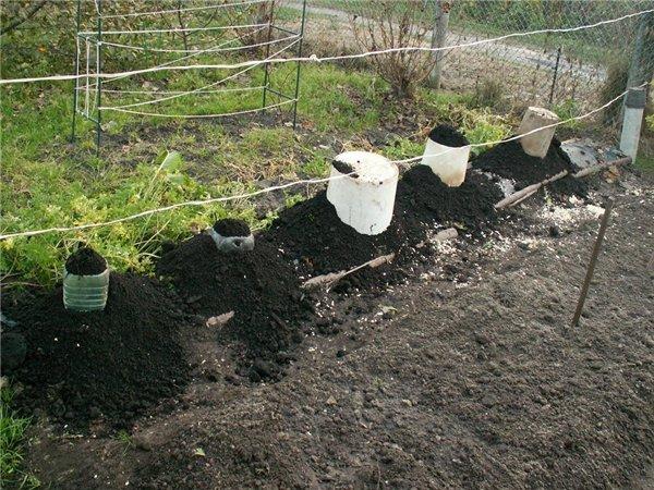 Подготовка молодых саженцев винограда к суровой зиме с использованием грунта
