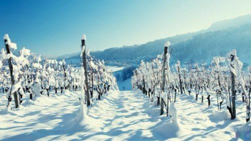 Виноградная лоза технического сорта под снегом на шпалере