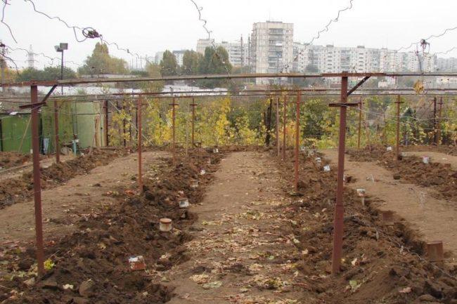 Шпалеры для винограда и ряды насыпного грунта, укрывшие лозу на зиму