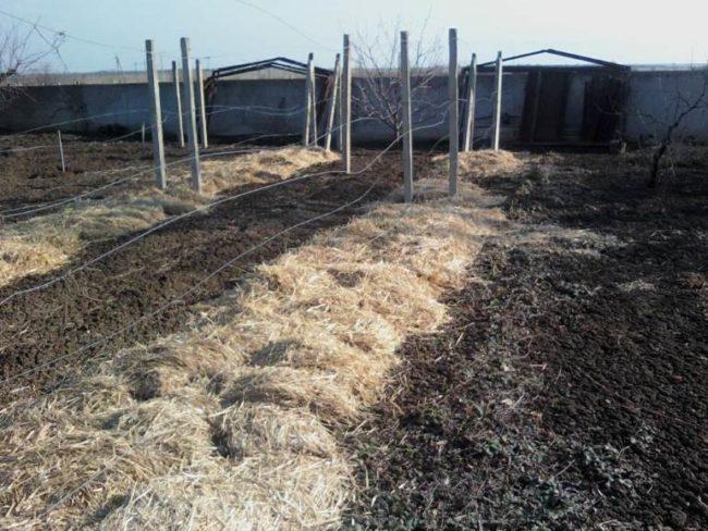 Укрытие виноградной лозы под солому и металлические столбы шпалеры