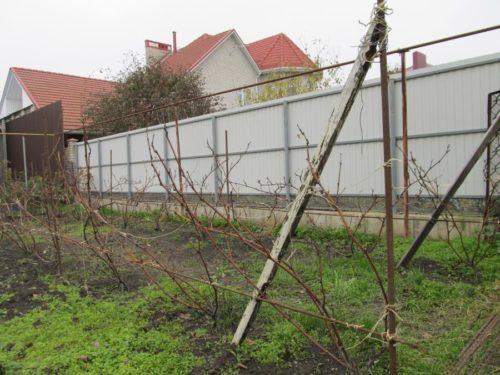 Виноградная лоза на шпалерах поздней осенью, обрезка и подготовка к укрытию