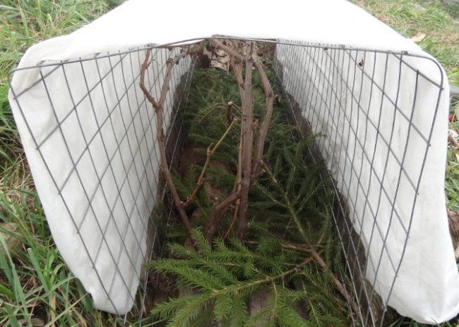 Укрытие винограда на зиму под белый нетканый материал и еловый лапник