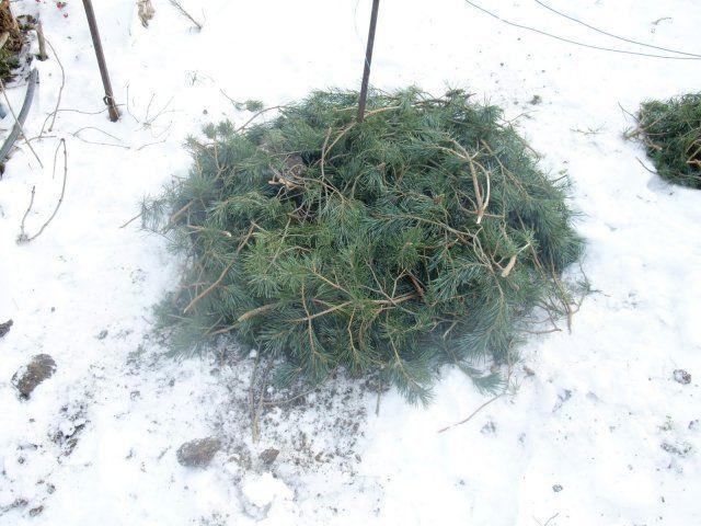 Зимнее укрытие молодого куста винограда под хвойные ветки и белый снег