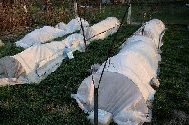 Укрытие виноградной лозы полиэтиленовой пленкой в холодных регионах