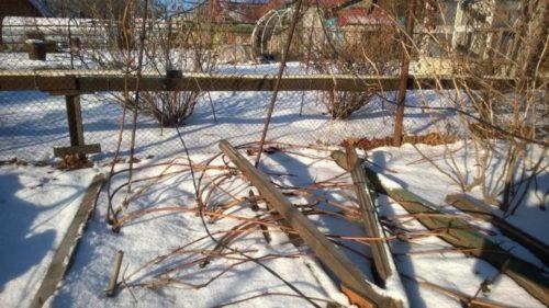 Пригнутые к поверхности земли ветви морозостойкого винограда