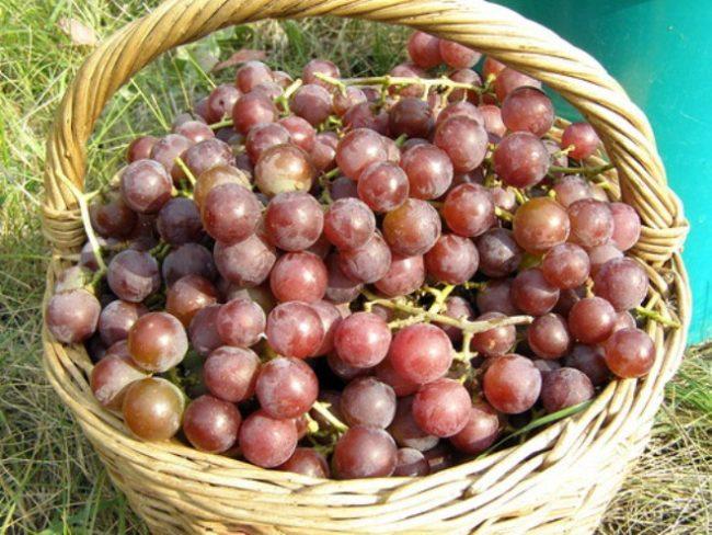 Сорванный виноград Лидия в корзине