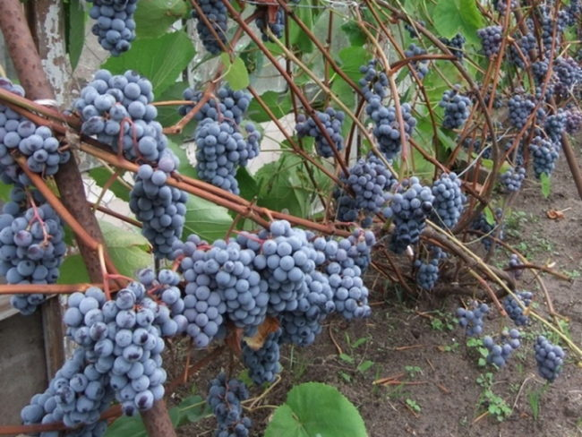 Урожай винограда Зилга на лозе