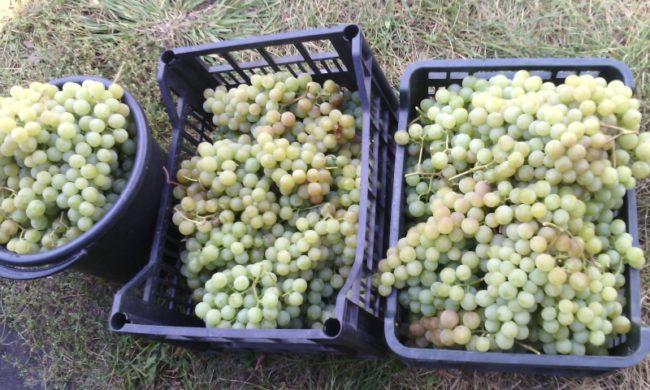 Урожай винограда сорта Дружба в пластиковых ящиках и в ведре