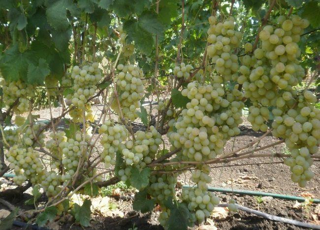 Шестилетний куст винограда сорта Антоний Великий под максимальной нагрузкой